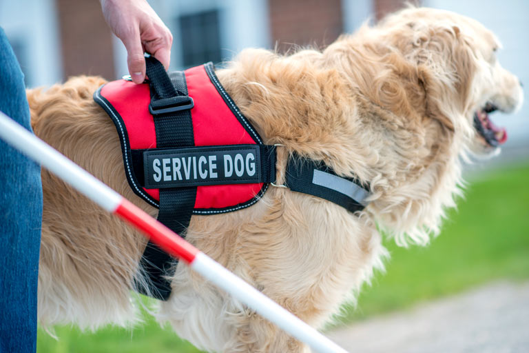 "a golden retriever wearing a  harness that says ""service dog"""